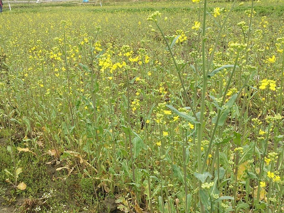 緑肥栽培の菜の花