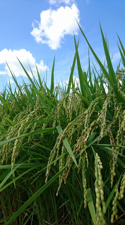 こうべを垂れる稲