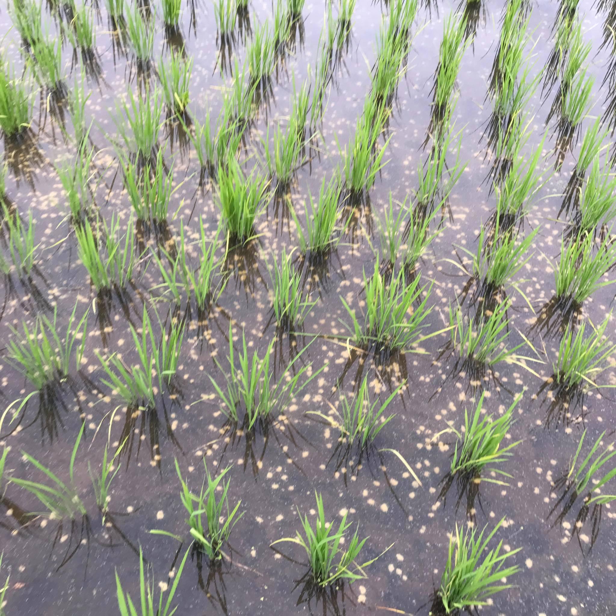 米ぬかペレットを撒いた田んぼ